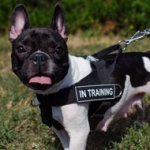 Bestseller! Nylon Dog Harness with Patches for French Bulldog