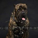 Cane Corso Designer Leather Harness with Studs