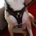 Stylish Leather Dog Harness for Mixed Breed Dogs