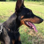 Dog Collar for Doberman Pinscher Behavior Correction Training
