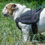 Bestseller! Bulldog Harness UK for Daily Activities and Sport