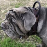 Neapolitan Mastiff Dog Collar of Two-Ply Leather with Handle