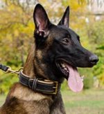 Padded Dog Collar for Belgian Malinois of Wide Leather