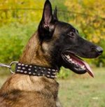 Spiked Dog Collar for Belgian Malinois of Quality Leather