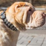 Dog Collar for Shar-Pei of Genuine Leather with Pyramid Studs
