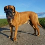 Wire Basket Dog Muzzle for Boerboel Mastiff