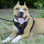 Dog Walking Harness for Pitbull, Perfect for Training Challenge!