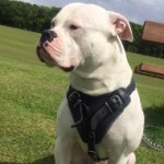 American Bulldog Dog Leather Harness for Protection
