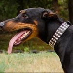 Leather Dog Collar for Doberman with Square Nickel Studs