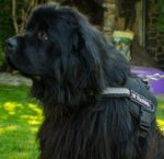 Reflective Dog Harness Nylon for Newfoundland Walking & Training