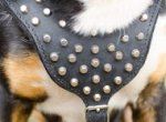 Studded Dog Harness for Swiss Mountain Dog Walking