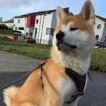 Akita Inu Harness of Strong Leather with Felt Padded Chest Plate
