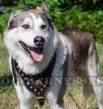 Luxury Dog Harness for West Siberian Laika, Brass Studded