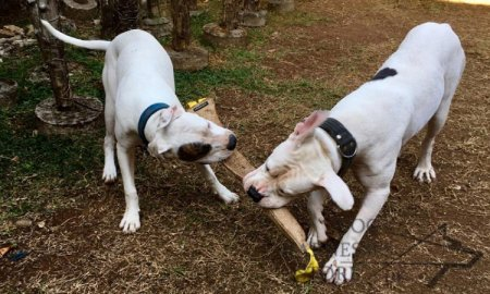 Huge Jute Bite Tug for American Bulldog UK