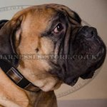 Bullmastiff Leather Collar with Brass Plates