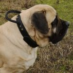 English Mastiff Leather Collar Double Thick with Control Handle