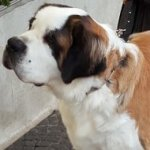 Saint Bernard Collar for Behavior Correction Training of Curogan