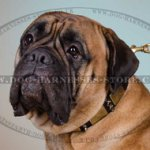 Bullmastiff Leather Collar with Nickel Plates and Spikes