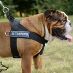 Nylon Dog Harness for English Bulldog Training, Walking, Pulling