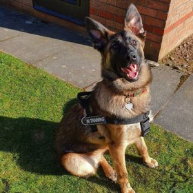Bestseller! German Shepherd Harness UK for Working Dogs