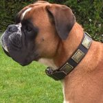 Boxer Dog Collar of Leather with Ancient-Like Large Brass Plates