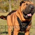 Harness for Shar-Pei Training and Walking, Extra Strong Leather