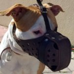 Leather Pitbull Muzzle with Reinforcement for Agitation
