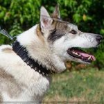 Leather Dog Collar with 2 Rows of Nickel-Plated Spikes for Husky