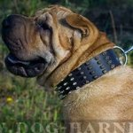 Shar-Pei Collar of Wide Leather with Spikes for Walking