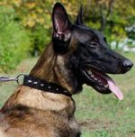 Spiked Leather Dog Collar for Belgian Malinois Style
