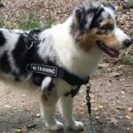 Australian Shepherd Harness with ID Patches, All-Weather Nylon