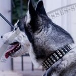 Leather Dog Collar for Husky with Square Nickel Studs in 3 Rows