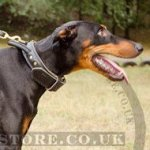 Doberman Collar with Handle of 2-ply Leather for Agitation