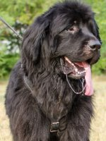 Working Dog Harness for Newfoundland, Protection One!