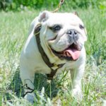Handmade Leather Dog Harness for English Bulldog, Luxury Design