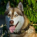 Siberian Husky Dog Collar Leather of War Design with Decorations