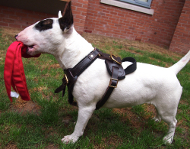 Bull Terrier Harness, Bestseller in UK for Training and Work