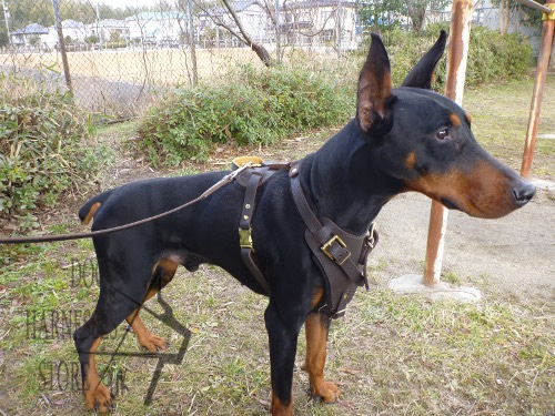 Leather Dog Harness for Doberman