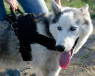 Dog Sled Harness for Sale