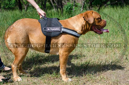 Dogue de Bordeaux Training Harness UK