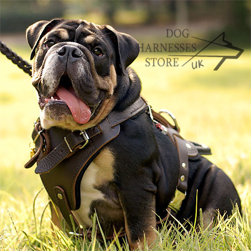 Leather Dog Harness for Old English Bulldog