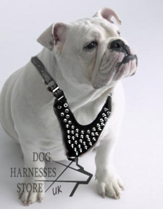 Harness for Bulldogs UK