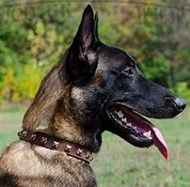 Fashion Dog Collar with Brass Square Studs for Malinois