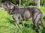 Nylon Harness for Mastino Neapolitano Walking