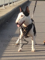 Royal Harness for Miniature Bull Terrier, Brass Studded Chest