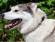 Leather Choke Collar for West Siberian Laika Obedience Training