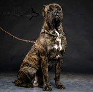 Cane Corso Leather Harness, Luxury Style for Walking