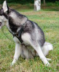 Siberian Husky Harness UK for Tracking