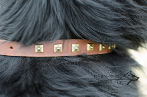 Studded dog collar for Newfoundland walking