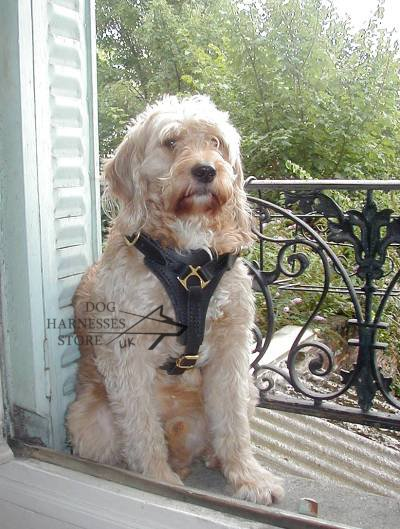 Best dog  harness for Labradoodle